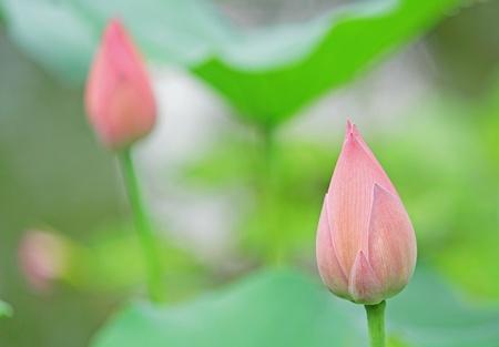 lotiform: Hindu Lotus  Stock Photo