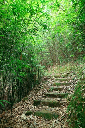 bamboo forest: Green Bamboo Forest -- a path leads through a lush bamboo forest
