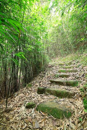 hollow tree: Green Bamboo Forest -- a path leads through a lush bamboo forest