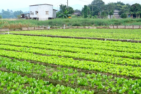 Rows of plants in a cultivated farmers field  photo