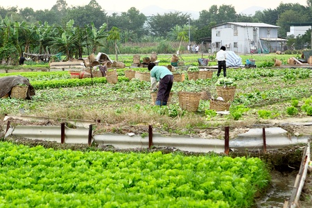 asian produce: farmer working in cultivated land