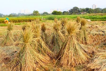 Harvest rice  photo