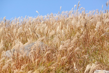 silvergrass and blue sky photo