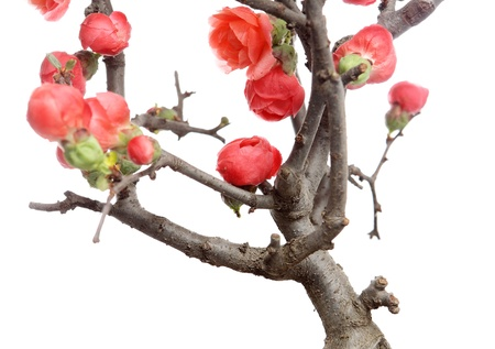 plum blossom photo