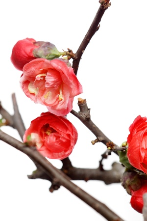 plum blossom photo