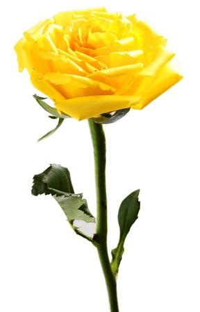orange rose: single yellow rose on a white background  Stock Photo