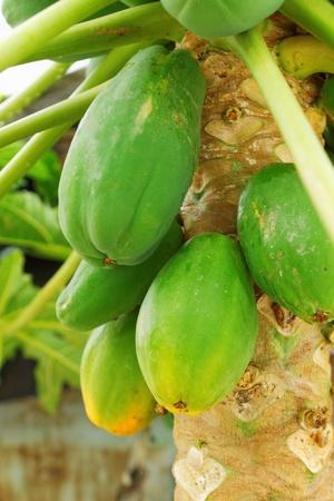 papaya tree: Papaya Tree