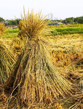 Harvest rice  photo