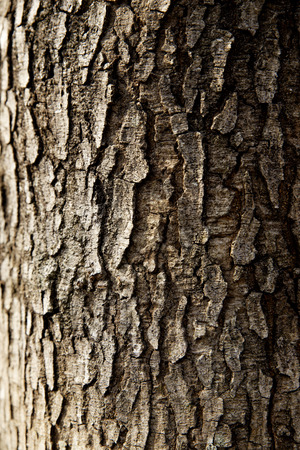 cottonwood  tree: tree trunk closeup wallpaper