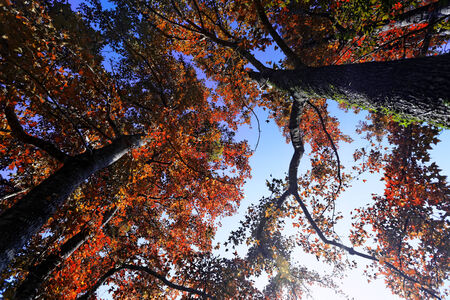 aceraceae: tree in the Fall with the sun shining through at day