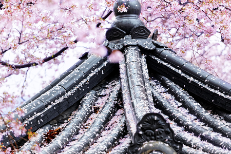 Weeping sakura infront of japanese temple at day photo