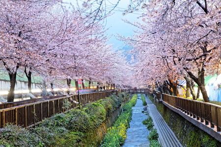 cherry blossoms at night, busan city in south korea 版權商用圖片 - 39340833