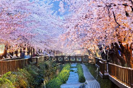 Bei Nacht Kirschenblüten, Busan Stadt in Südkorea Standard-Bild - 39340854