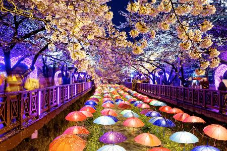 cherry blossoms at night, busan city in south korea 版權商用圖片 - 39340857