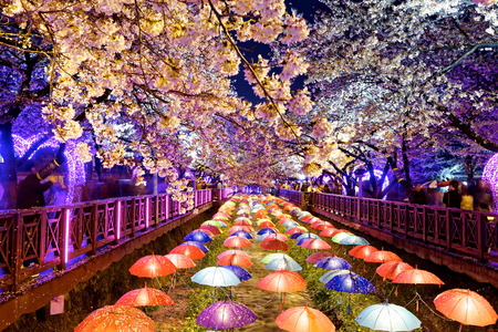 south korea: cherry blossoms at night, busan city in south korea