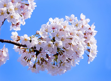 pink skies: Branches of blooming apple tree with many flowers over blue sky, seoul in south korea Stock Photo