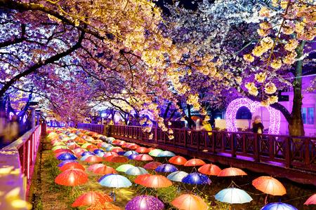 cerezos en flor: flores de cerezo por la noche, la ciudad de Busan en Corea del Sur