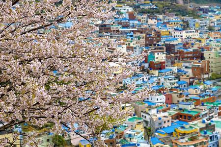 Sakura tree at Gamcheon Culture Village, Busan, South Korea. photo