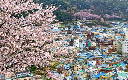 Sakura tree at Gamcheon Culture Village, Busan, South Korea.