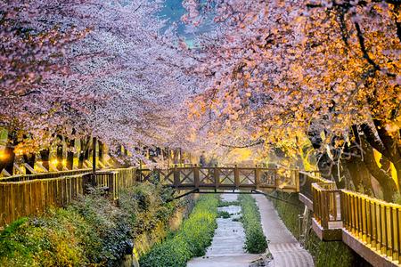 cerezos en flor: flores de cerezo sakura al atardecer, la ciudad de Busan en Corea del Sur Foto de archivo
