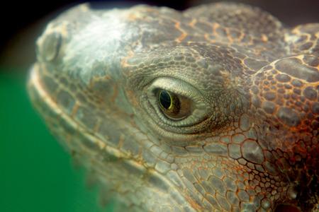 iguana close up at day Stock Photo