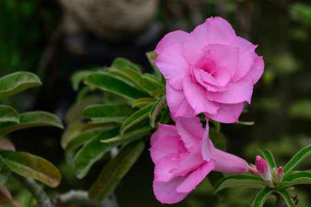 mock azalea: soft focus pink Impala lily. Pink azaleas. Pink flower. Desert Rose. Impala Lily. Mock Azalea. Pink desert rose. Azalea flowers. Colorful azalea flowers. Pink azalea flowers. Stock Photo