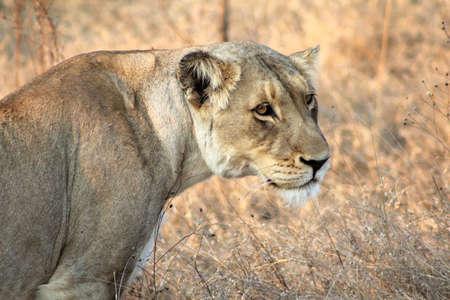 lioness with intense stare 版權商用圖片