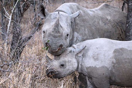 poach: endagered black rhinoceros with calf