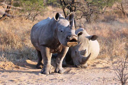Juvenile white rhinoceros yawning in the dawns early sunlight photo