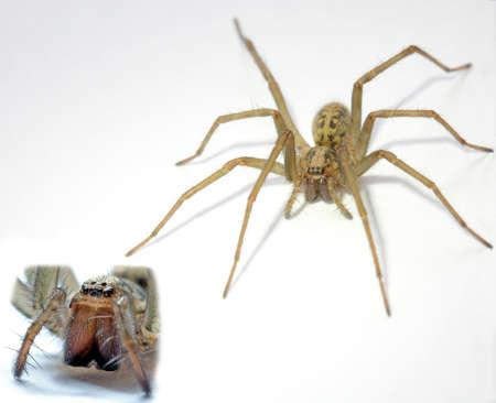 agelenidae: Tegenaria Gigantean or Giant House Spider