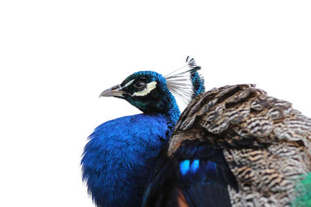 peacock wheel: A proud peacock showing his colors Stock Photo