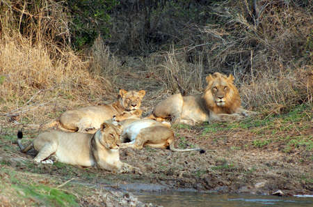 Lion pride relaxing after a satisfying meal Stock Photo