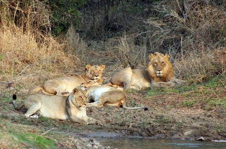 animales safari: Orgullo del le�n relajarse despu�s de una buena comida Foto de archivo