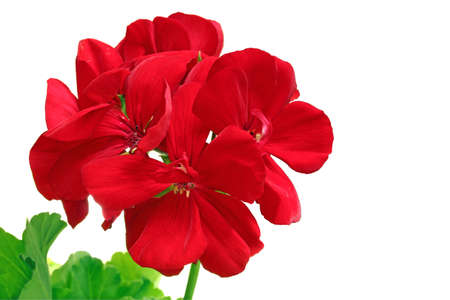 The red bloom from a geranium