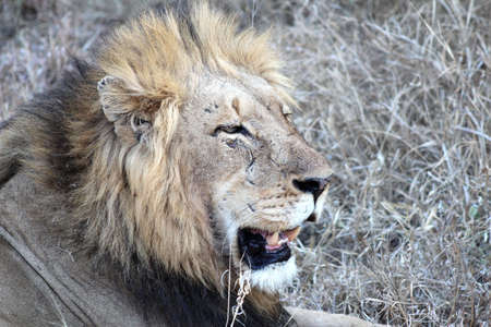 the scars: male lion with battle scars Stock Photo