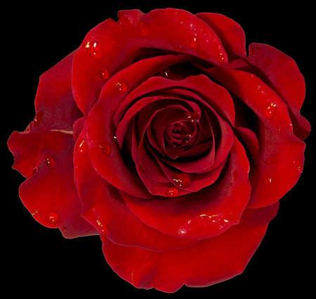 rosa roja con el rocío aislado en negro