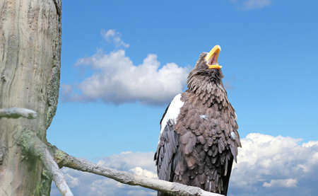 Close up of a screaming Steller's Sea-Eagle Stock Photo - 13717309