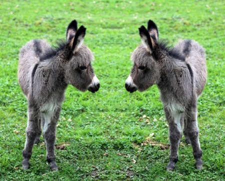 Baby miniature donkeys