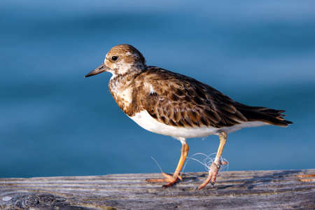 A Least Sandpiper with monofilament fishing line tied around foot. Stok Fotoğraf