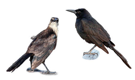 femal: Male and Femal Grackle