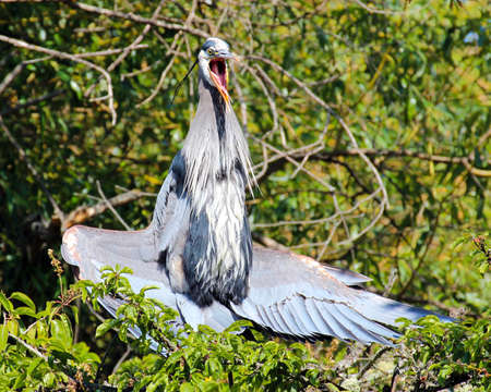 Great blue heron sunning its wings photo