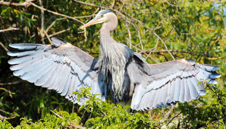 Great blue heron spreading its wings photo