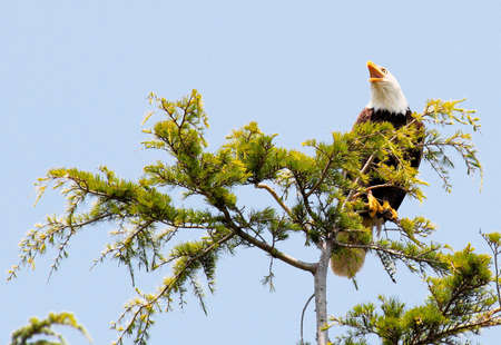 A bald eagle sitting in a tree photo