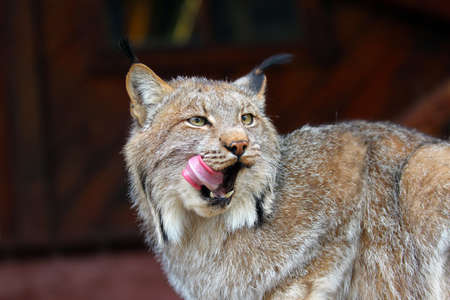 Close-up of a North American Lynx