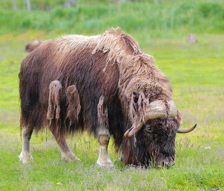 musk ox shedding winter coat Stock Photo