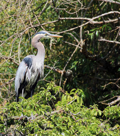 Photograph of a great blue heron photo