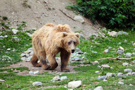 A shaggy brown bear walking