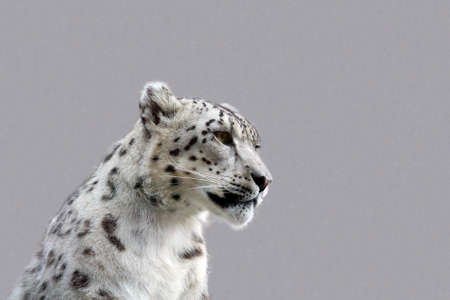 snow leopard: A young male snow leopard