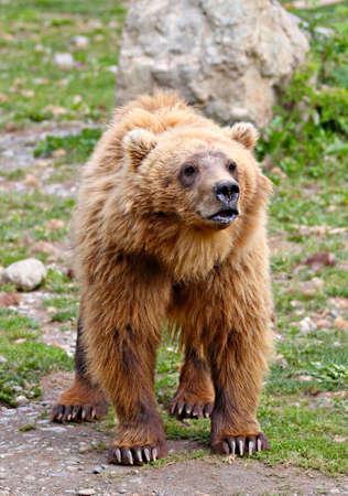 ursus: A large femal brown bear