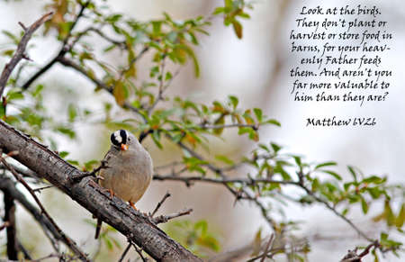verse: An adult white crowned sparrow perched on a branch Stock Photo